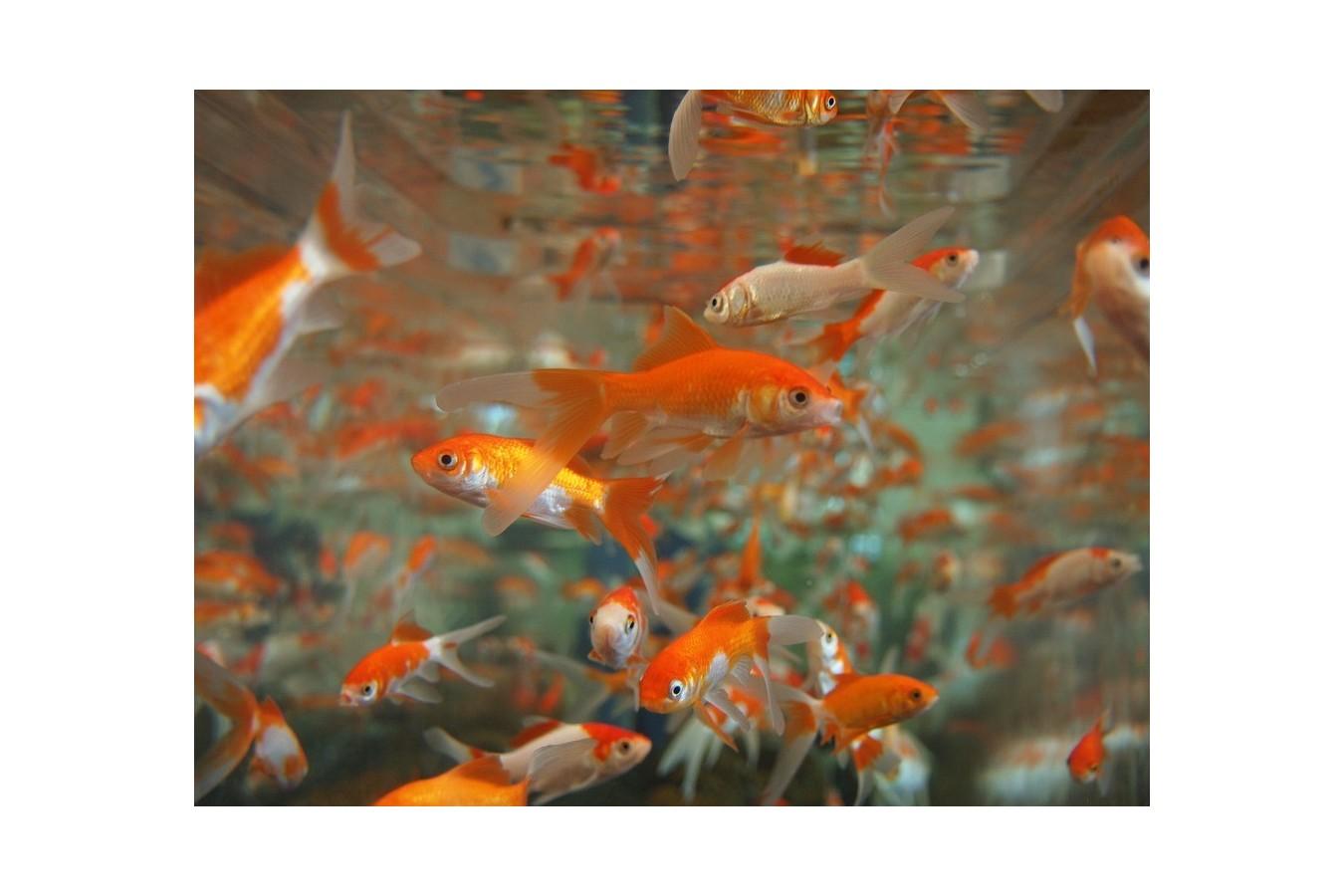 ¿Cuantos peces puedo mantener en mi acuario?